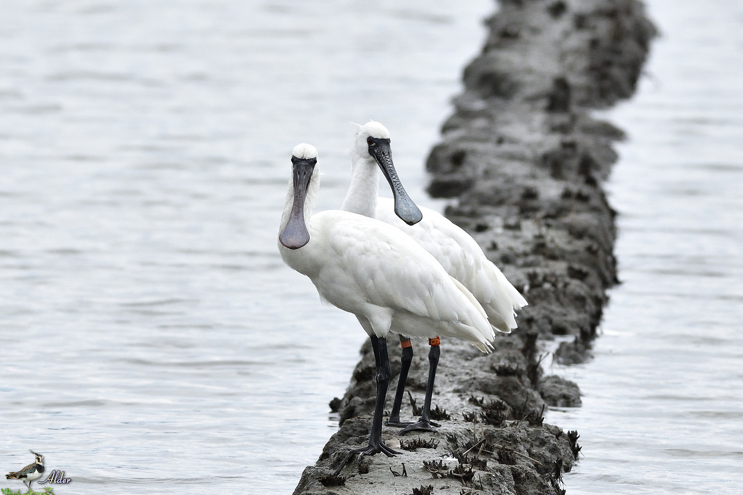 Black-faced_Spoonbill_5252