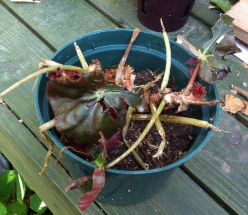 damaged_begonia