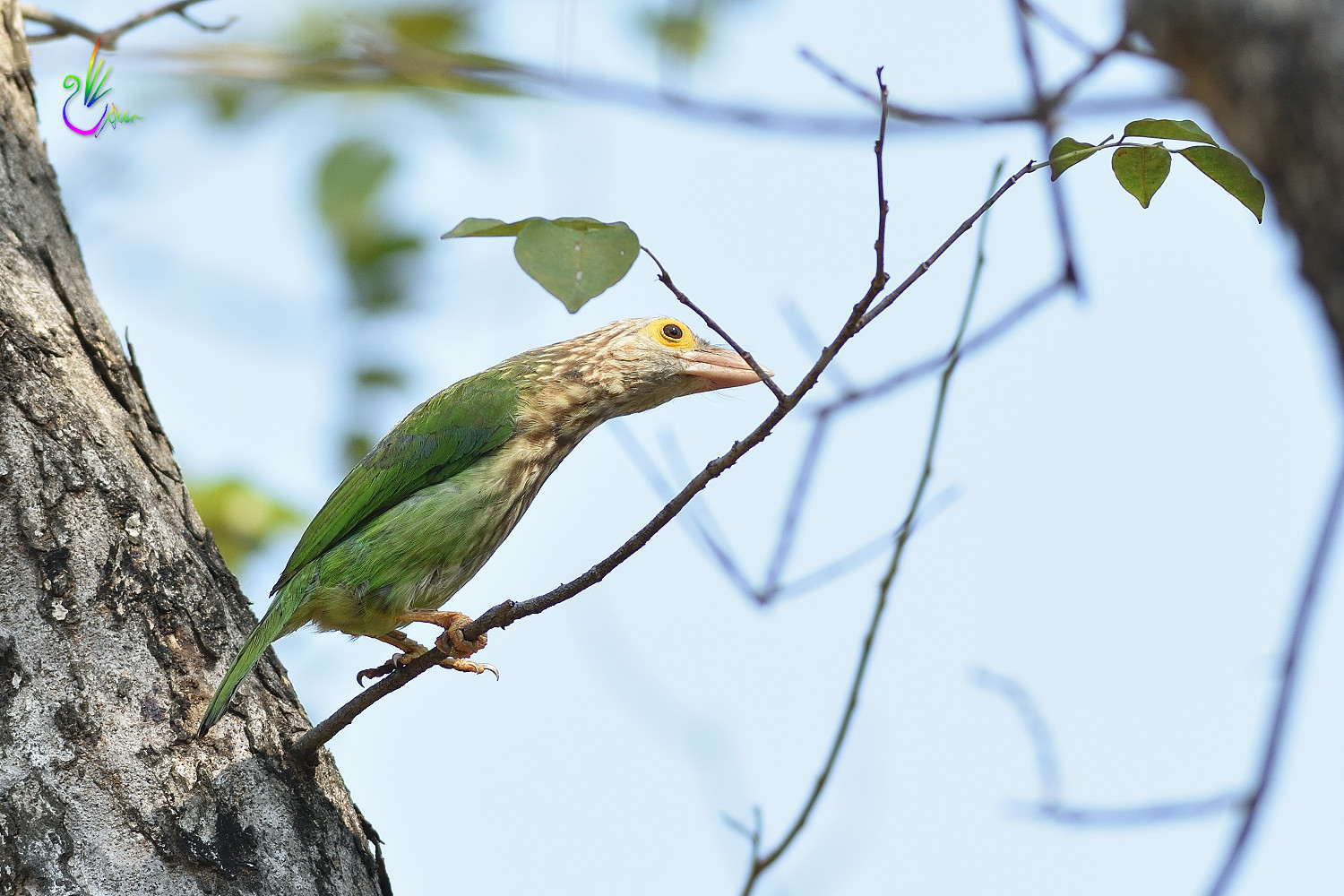 Lineated_Barbet_6118