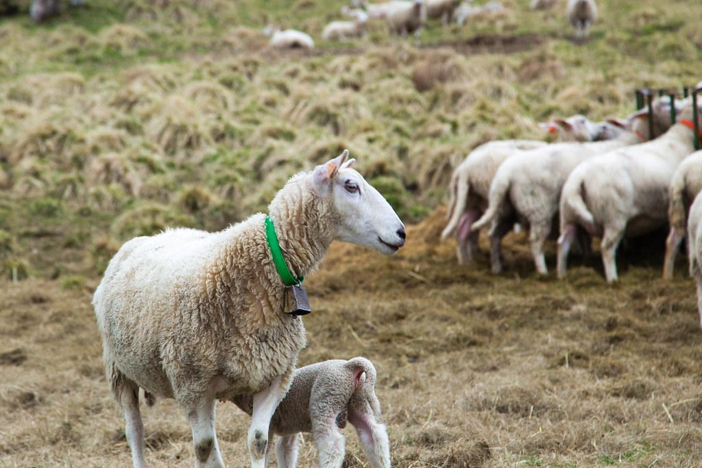 Sheep-20