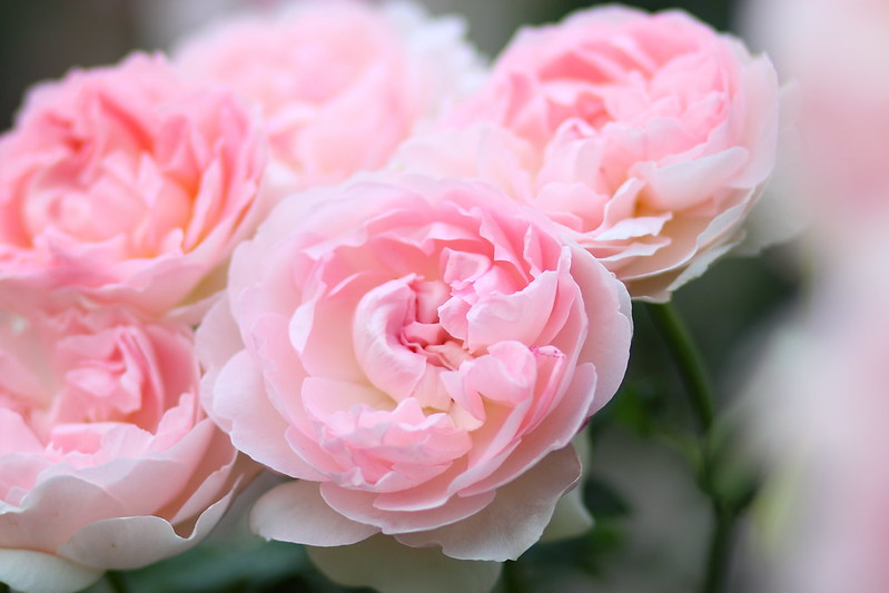 ROSE:シャリファ・アズマ