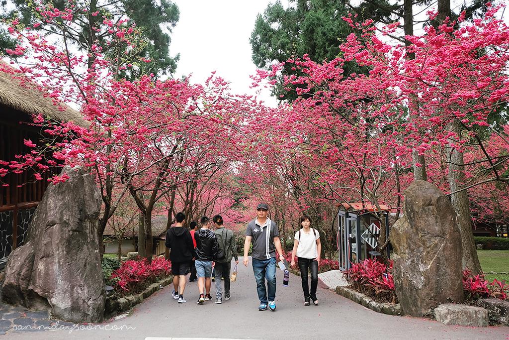 formosan-aboriginal-culture-village-cherry-blossom-taiwan