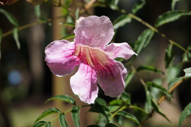 Linda (bignonia rosada)