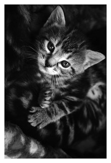 kitten  - black & white | by Sayra.