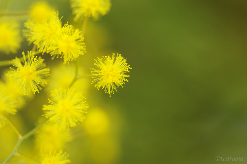 Mimosa | by tearoom