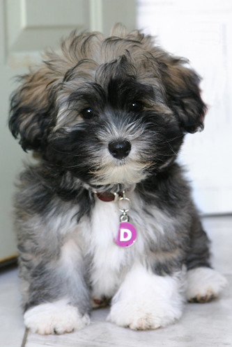 Desi the Havanese Puppy | by the other Martin Taylor
