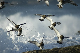 Black Turnstones | by Dale Hameister