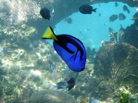 Blue tang aka dory fish compmouse flickr for Picture of dory fish