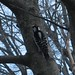 hairy woodpecker!
