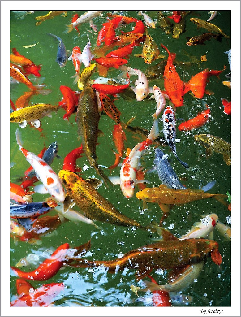 Love fishes today is valentine day 2006 instead of for Koi pond supply of japan