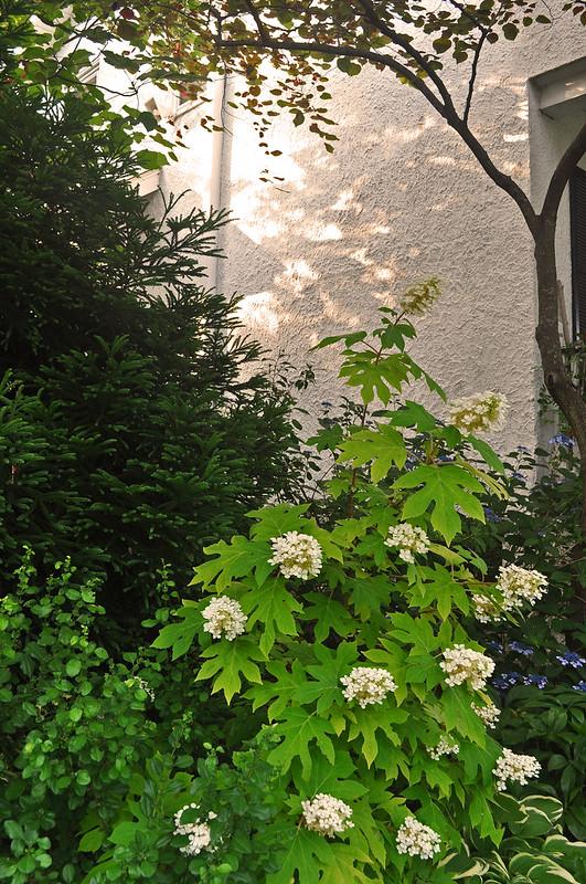 Hydrangea quercifolia 'Little Honey' (2)