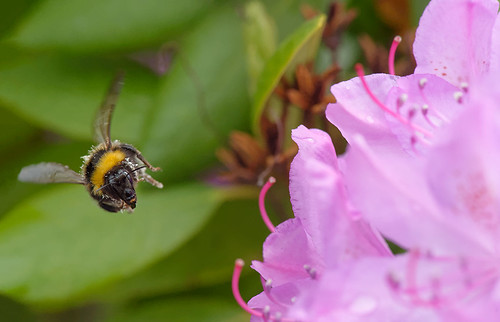 D487659 Bohemian Cuckoo Bumblebee | by Nick Sidle