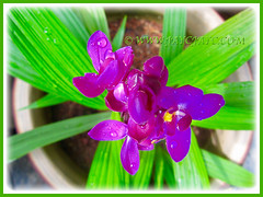 Raindrops on purple-coloured Spathoglottis piicata (Philippine Ground Orchid, Large Purple Orchid, Pleated Leaf Spathoglottis), June 18 2015
