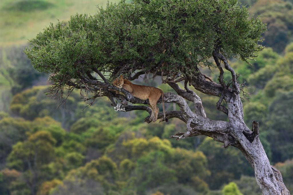 Sleepy Lioness in Bala...