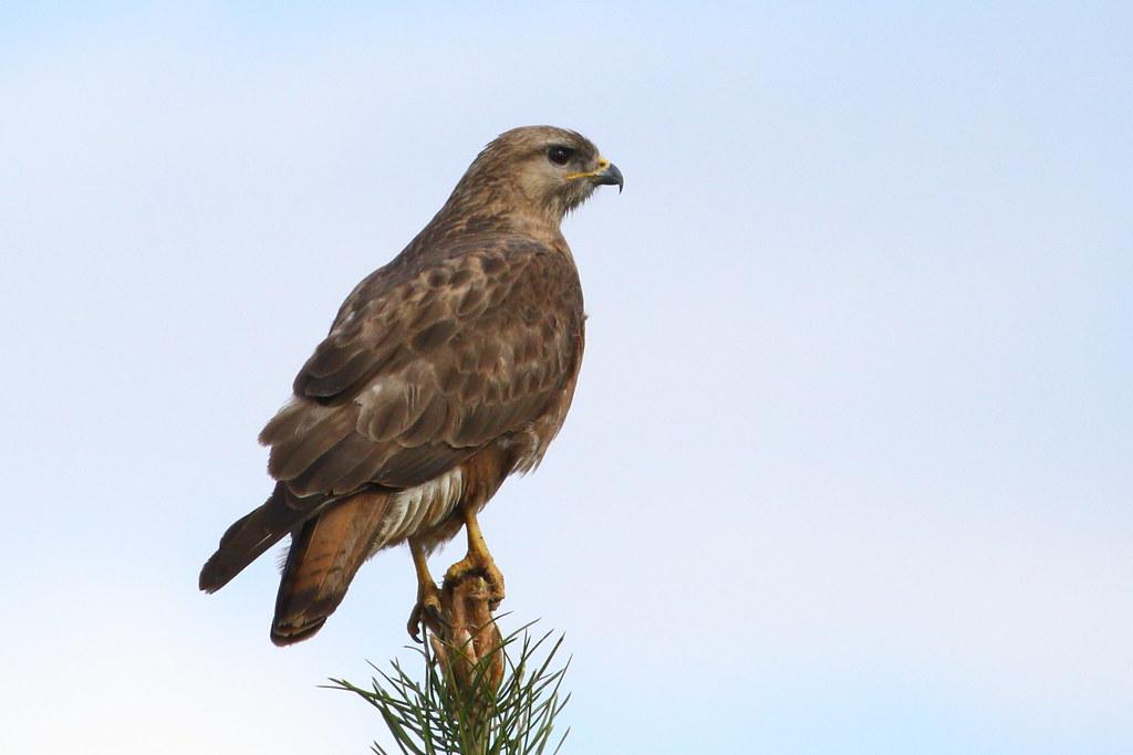 Buzzard on pine tree
