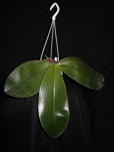 Phalaenopsis gigantea x bellina (Gigabell) 17776475484_088a189500_z
