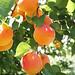 Royal Blenheim Apricots