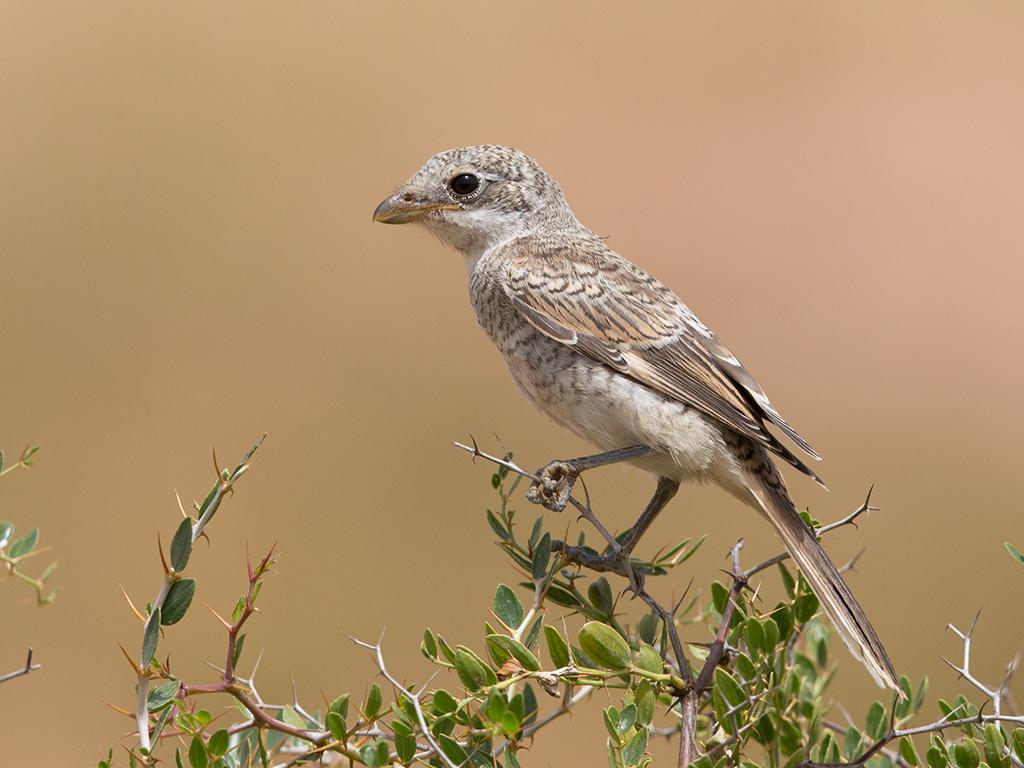 Woodchat Shrike juvenile  Morocco