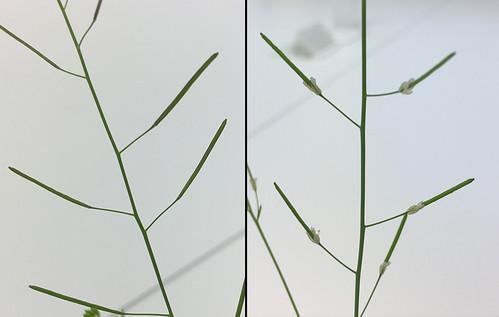 FrokapselArabidopsisVilltypeMutÅEikenesWeb