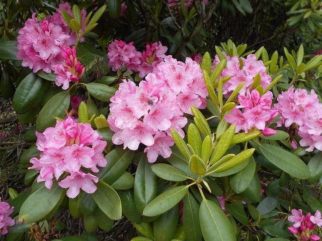 """Marjatanalppiruusun (Rhododendron Tigerstedtii-ryhmä """"Haaga"""") kukintaa 6.6.2015 Kaisaniemen kasvitieteellinen puutarha Helsinki"""