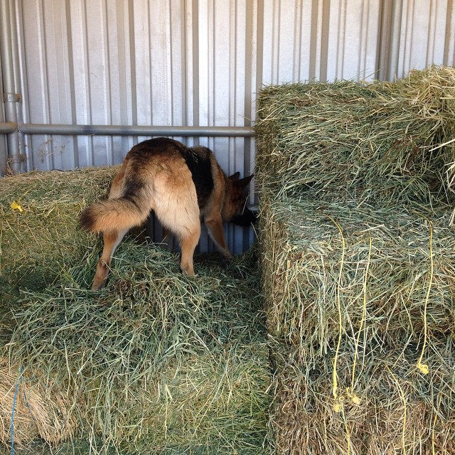 Blankets hunts rodents in the hay. My beloved ranch partner.