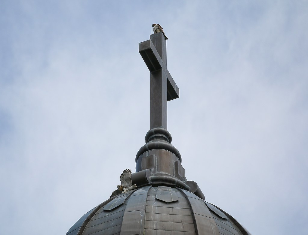 Dora watches fledgling hawk slide around the dome of Most Holy Redeemer church