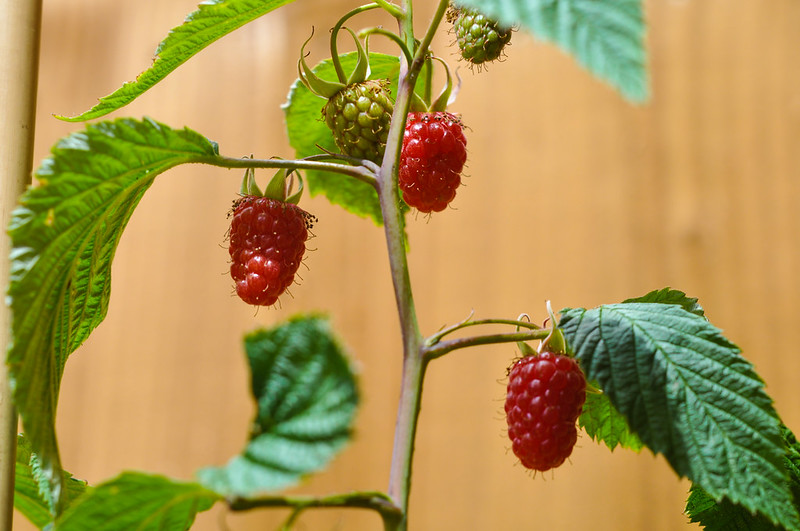 Fresh raspberries (June 2015)