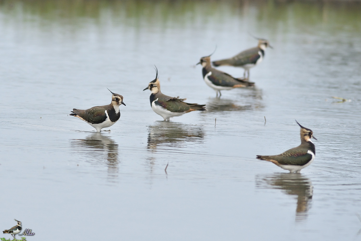 Northern_Lapwing_4935