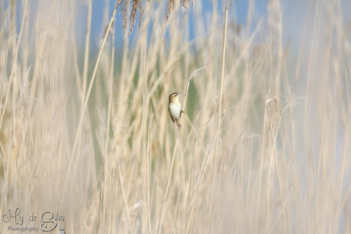 Sedge warbler singing many tunes | by mysan_32
