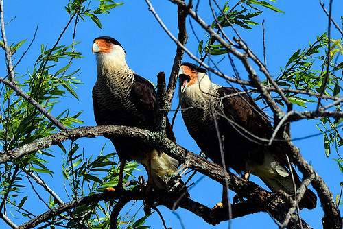 FL: Crested Caracaras in Love 2