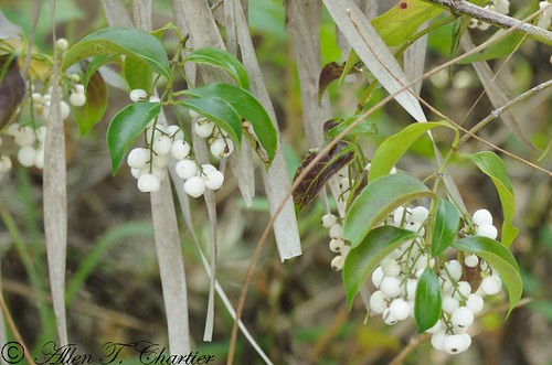 Symphoricarpos albus (Common Snowberry)