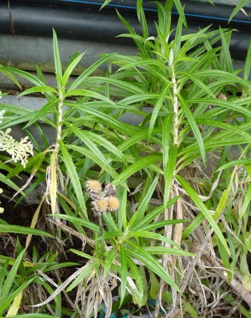 Carlina salicifolia 18492203536_6f1d44e80c_o