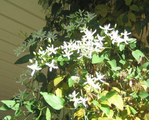 clematis_ternifolia