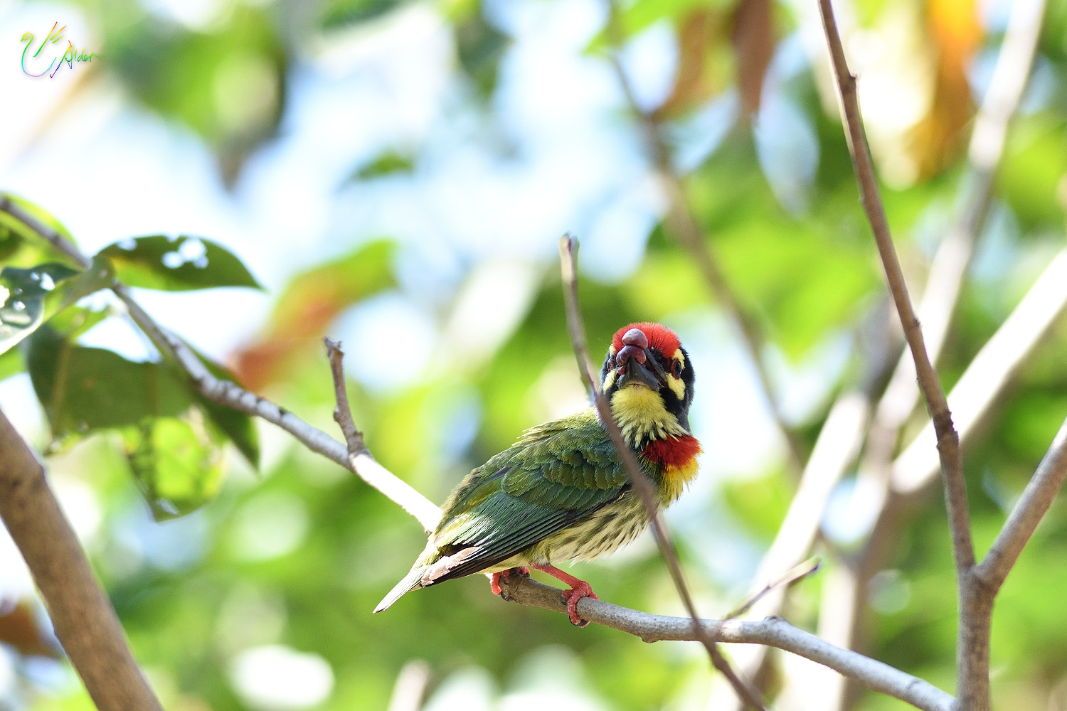 Coppersmith_Barbet_9038