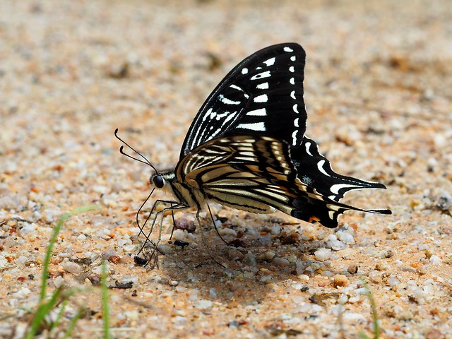 Asian swallowtail butterfly (Papilio xuthus, アゲハ)