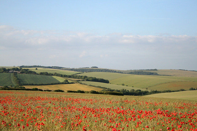 poppies on the downs