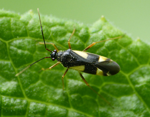 Dryophilocoris flavoquadrimaculatus Tophill Low NR, East Yorkshire June 2015