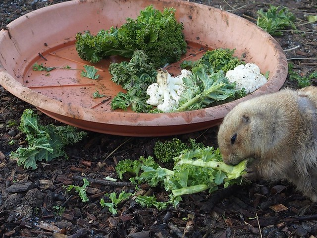 Black Tailed Prairie Dog eating salad