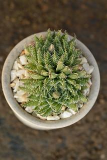 DSC_5160 Haworthia luteorosea ハオルチア ルテオローザ