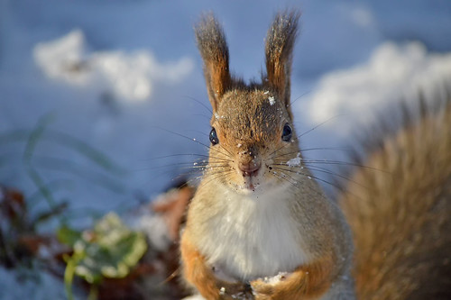 - Hi! Is it me you're looking for? #Finland #Winter #Squirrel | by L.Lahtinen (nature photography)
