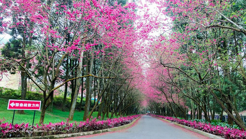 sun-moon-lake-cherry-blossom