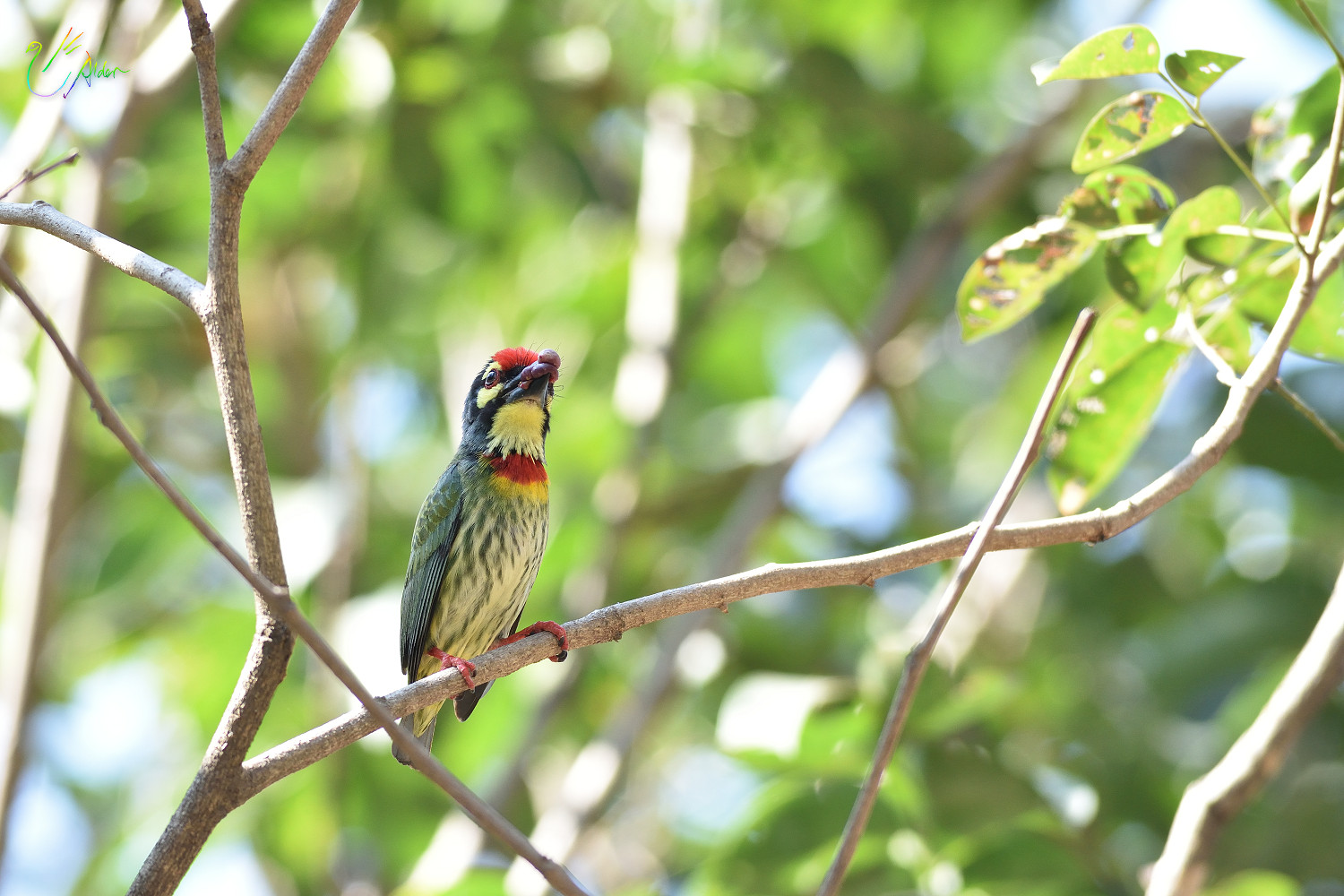 Coppersmith_Barbet_9078