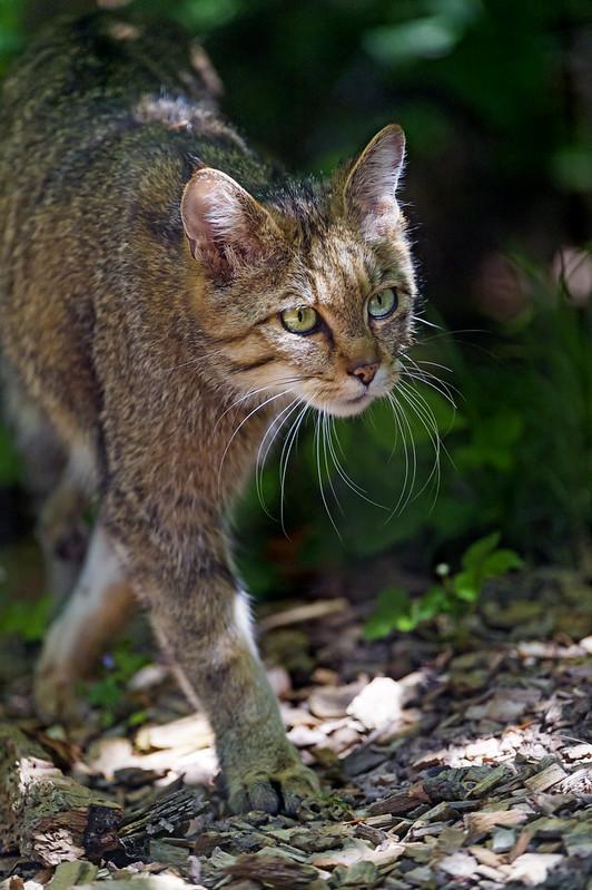 Wild cat walking in the shadow
