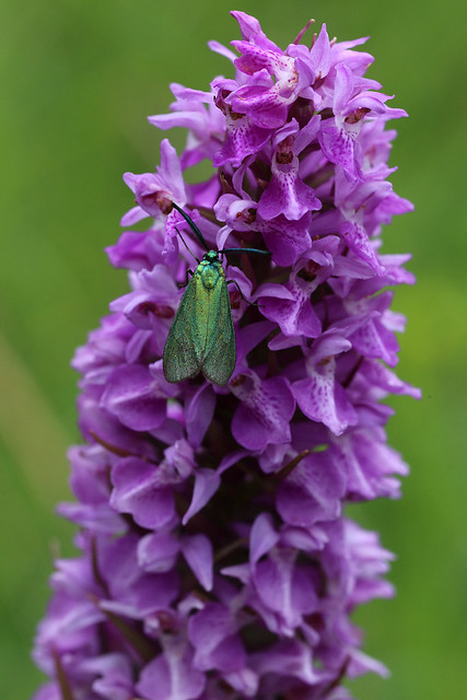 Southern Marsh Orchid Dactylorhiza praetermissa and Forester Moth Adscita statices