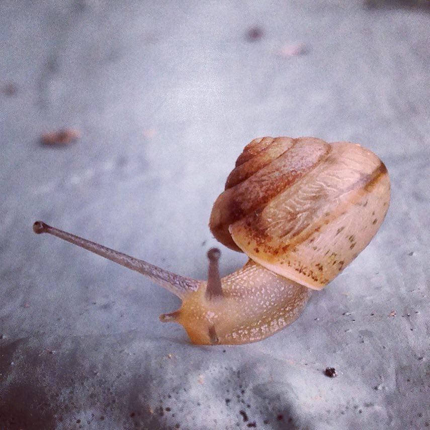 A Land Snail Aka A Terrestrial Gastropod Mollusk The Maj Flickr