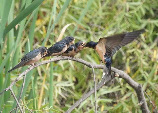 Barn swallows feeding