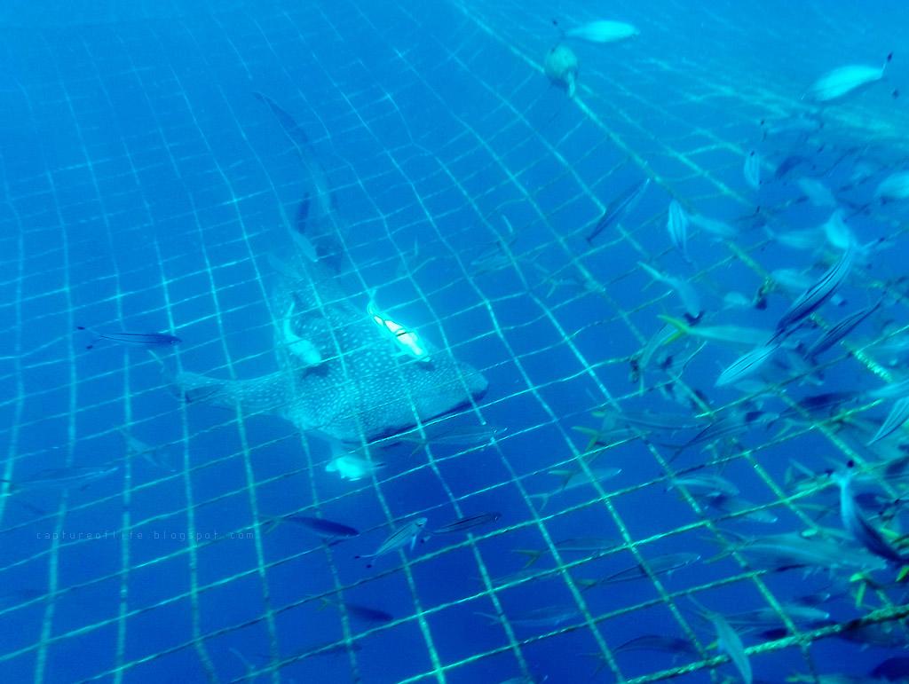 浮潛去看鯨鯊