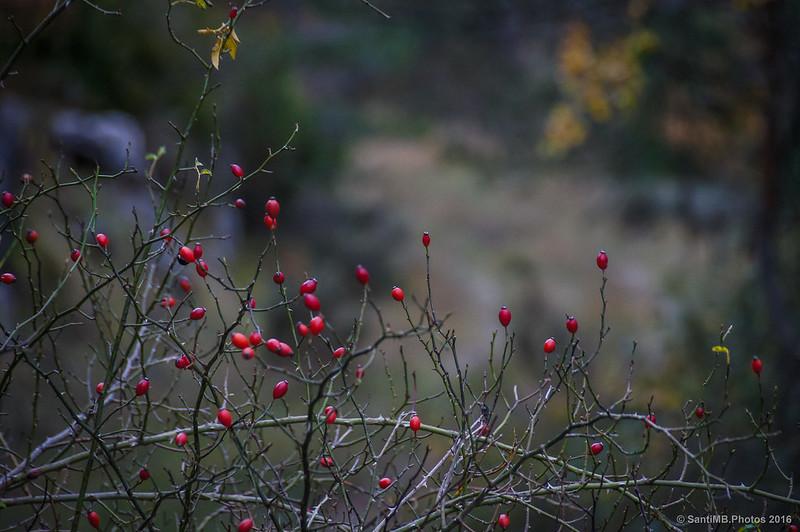 Escaramujos en otoño