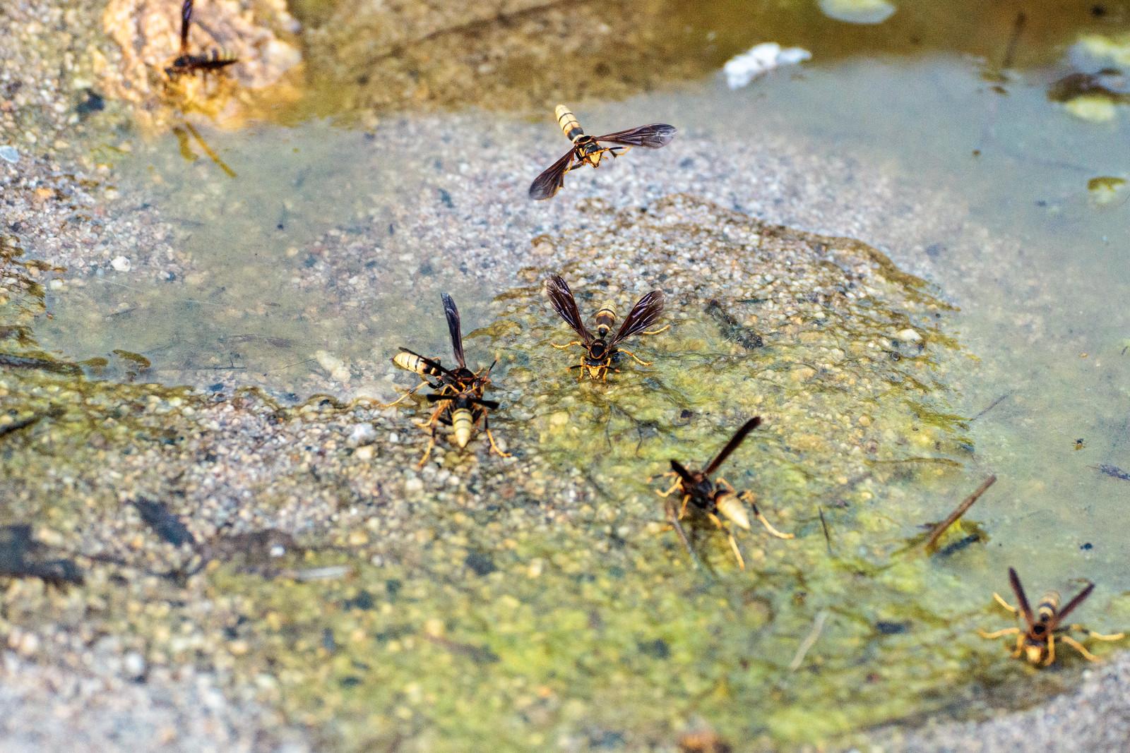 1505 Wasps in Molino Canyon