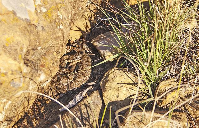 Rattle Snake 20d_1941